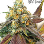 Platinum Cookies (Double Berry Cookies S1) - Feminised version